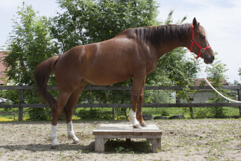 weak stifle muscles in horses